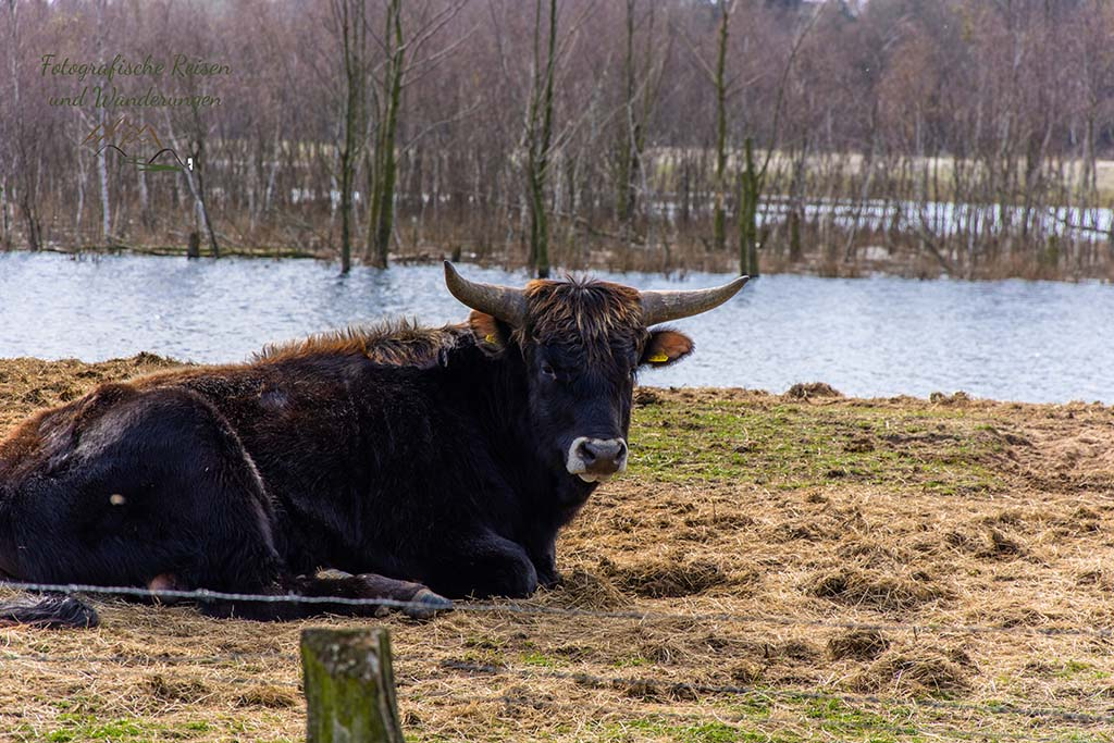 Galloway Bulle
