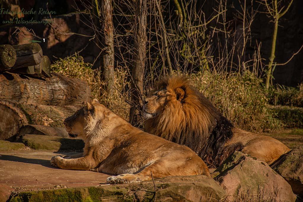 Löwen im Zoom Erlebniswelt in Gelsenkirchen