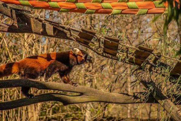 Roter Panda mit Küken im Maul - Zoom Erlebniswelt in Gelsenkirchen