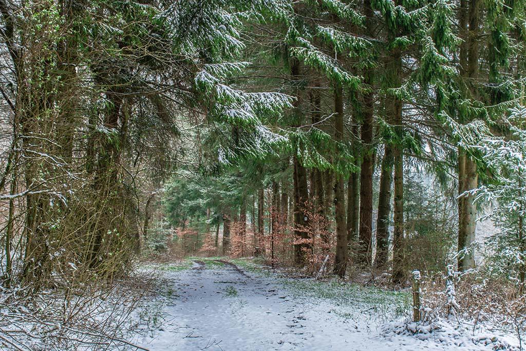 Grüne Tannen und Schnee zu unseren Füßen-Noch keine Wilden Narzissen