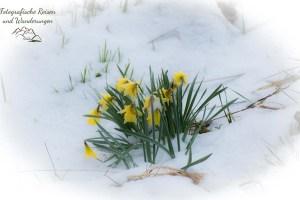 Wilde Narzissen im Schnee - - Auf der Suche nach den Wilden Narzissen
