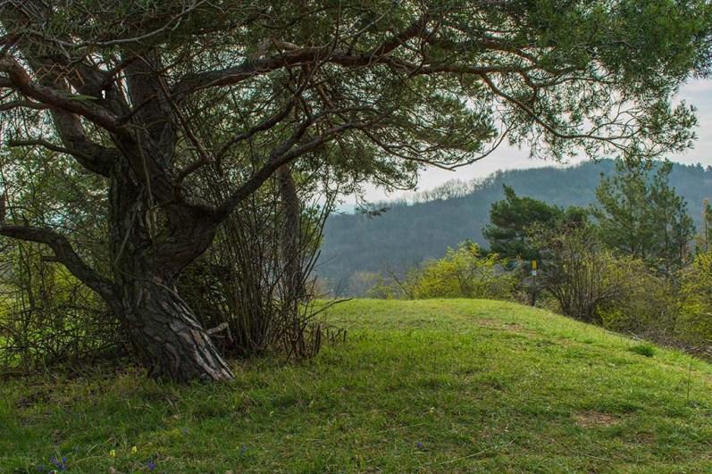 Alter knorriger Baum