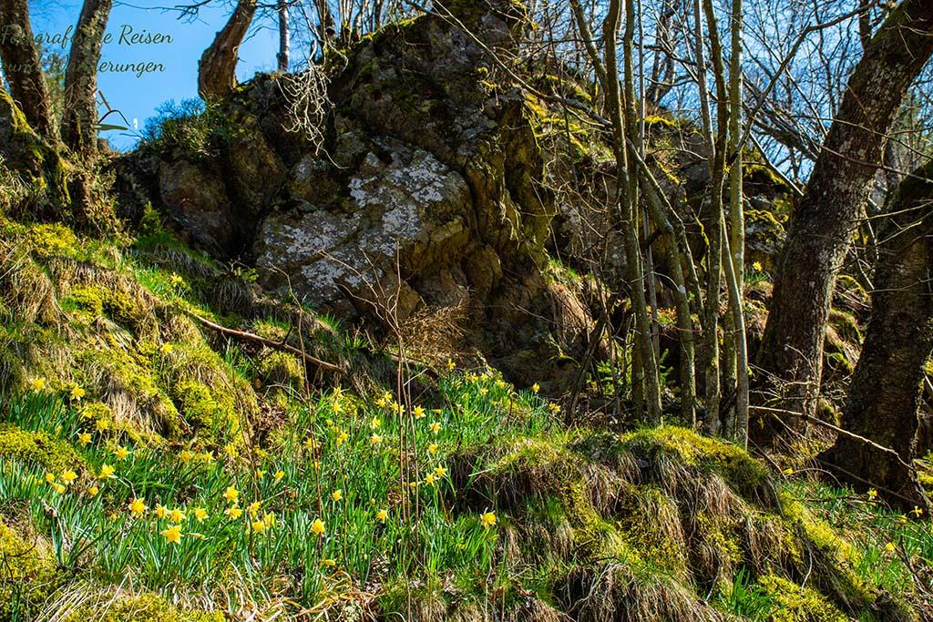Wilde Narzissen in der Eifel - Unterhalb der Felsen