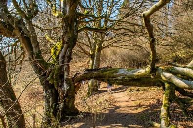 Einen Arm hat der alte Baum über den Wanderweg gelegt