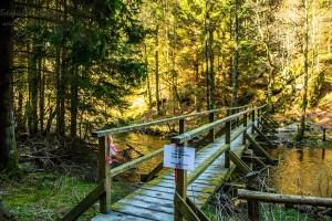Brücke am Perlenbach gesperrt - Wilde Narzissen in der Eifel