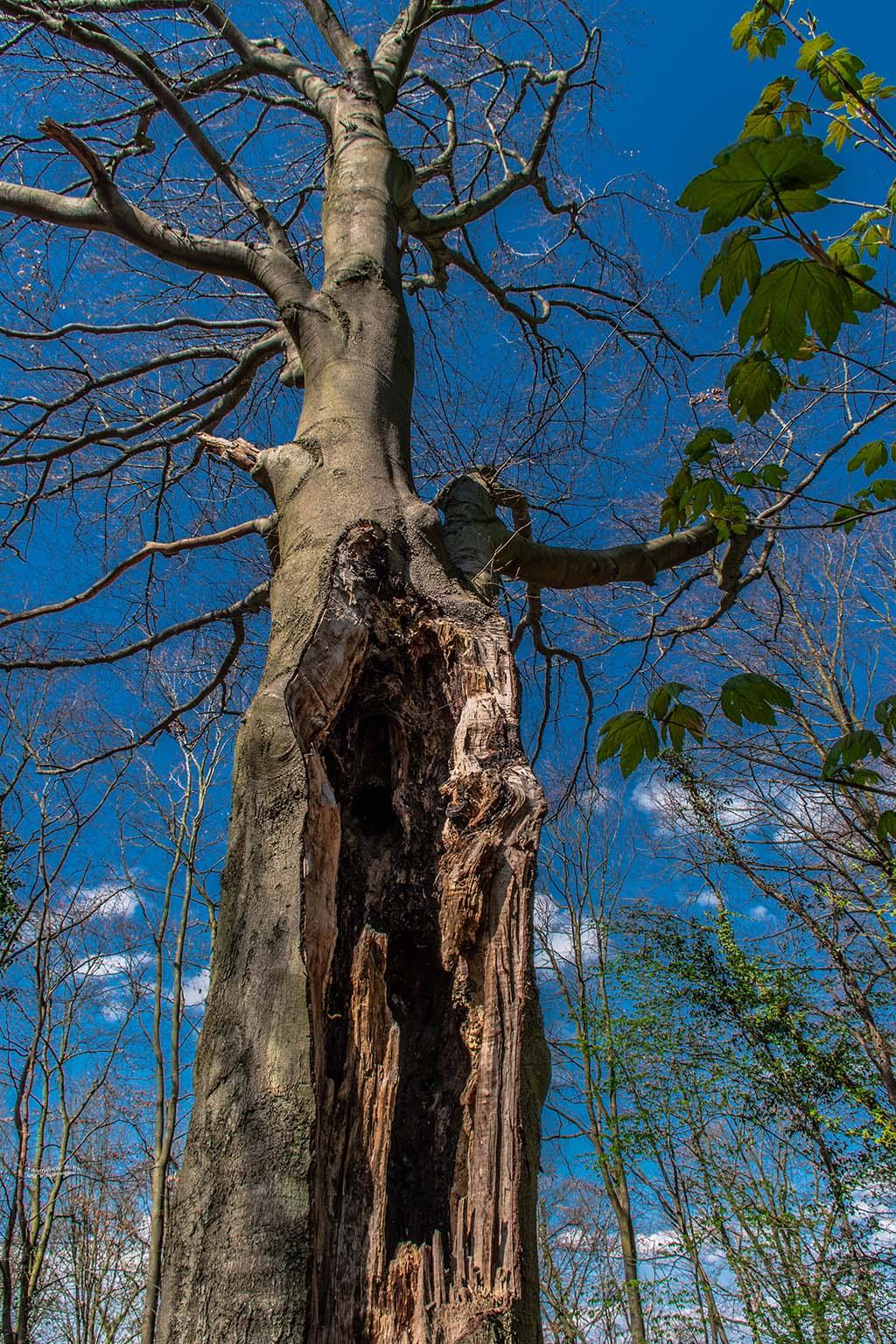 Ein Baum, hohl und doch lebendig - Felsen und Höhlen im Siebengebirge