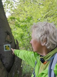 Eifelsteig zwischen Gemünd und Kloster Steinfeld Eifelsteigsymbol an einem Baum