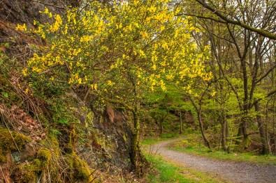Ginsterblüte - Eifelsteig zwischen Monschau und Einruhr