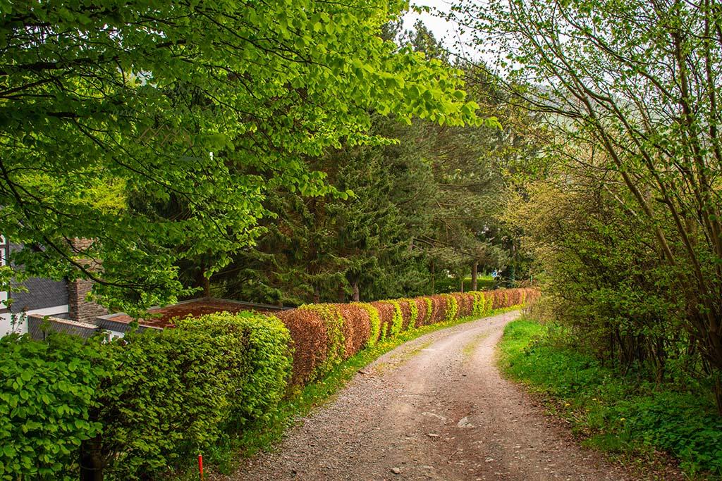 Buchenhecken teils grün, teils altes Laub - Eifelsteig zwischen Monschau und Einruhr
