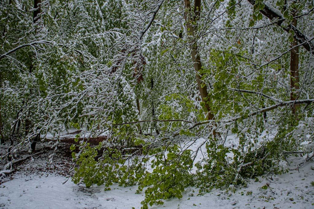 Frisch abgebrochener Ast - Winter im Mai auf dem Eifelsteig