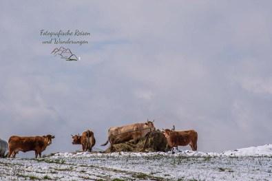 Hungrige Weidebewohner - Winter im Mai auf dem Eifelsteig
