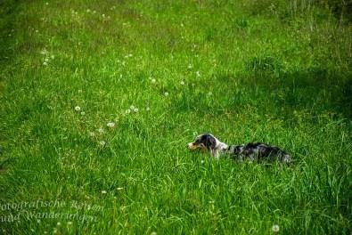 Shaggy im Gras