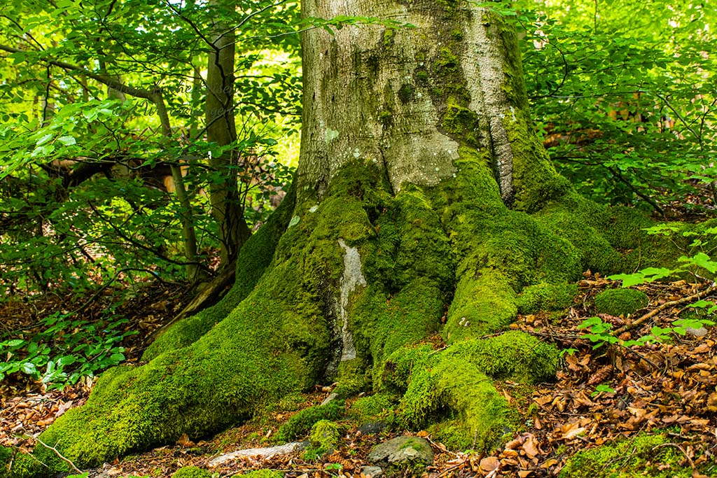 Dicker Baumfuß mit Moossocke