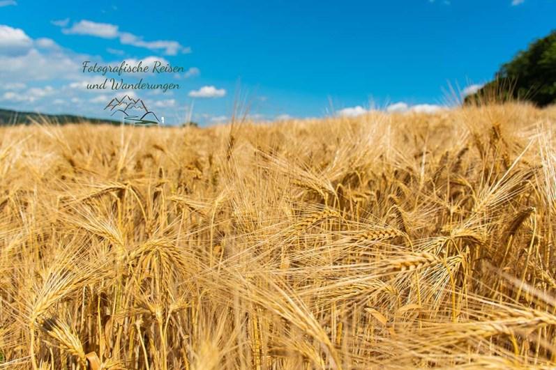 Getreidefelder nördlich von Frücht - Panoramaweg Frücht