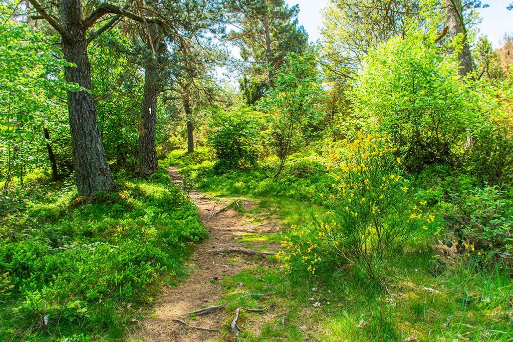 Heidelbeerbüsche und Ginstersträucher - Wacholderheide in der Eifel