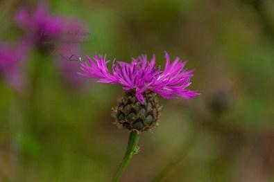 Flockenblume - Hier drauf könnten sie sitzen die Apollofalter an der Mosel