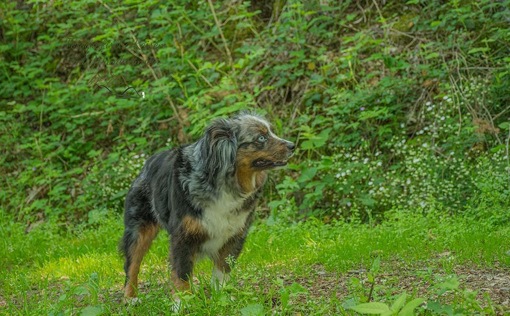 Foxy auf dem Grafschaft Pfad