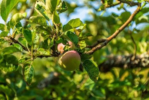Äpfel im Kloster Himmerod