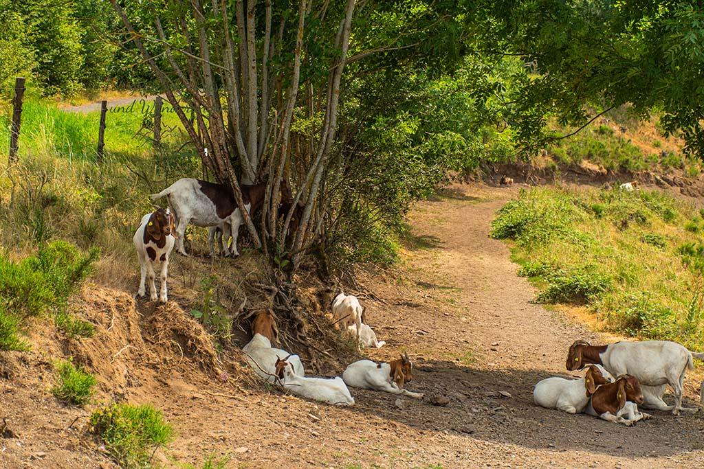Ziegenherde - Der Eifelsteig und die Maare