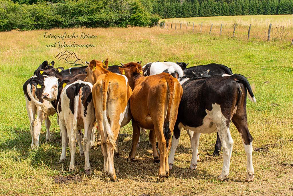 Kühe auf dem Jahrhundertweg in Monschau