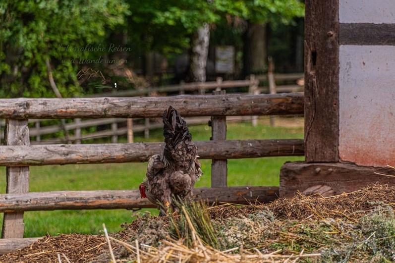 Kräht der Hahn.... der hier sucht das Weite, als ich näher komme