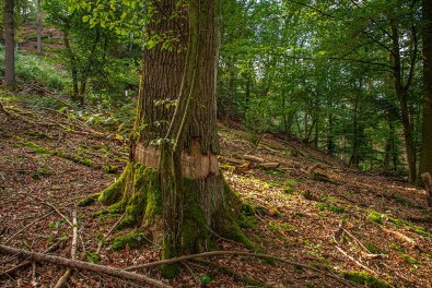 Verletzter Baum - Naafbachtal Wandern