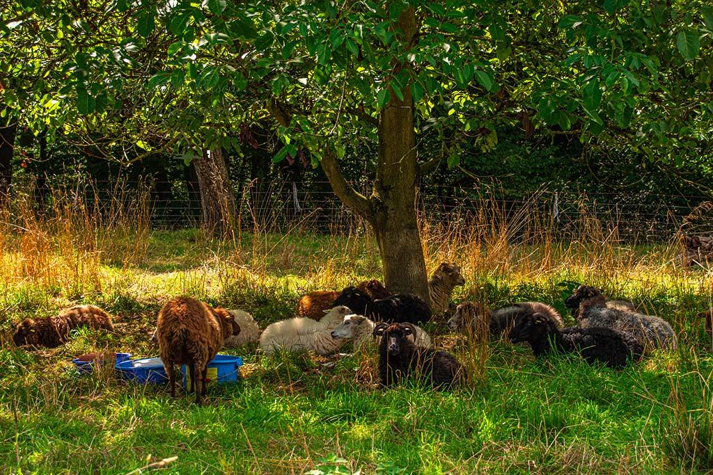 Mittagsschlaf bei den Schafen
