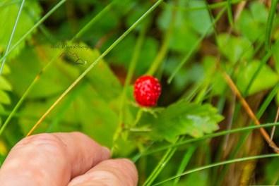 Wilde Erdbeeren - Hochthörle Hütte