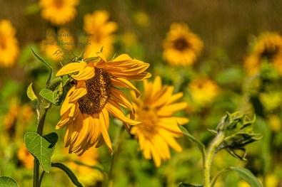 Herrliche Sonnenblumen