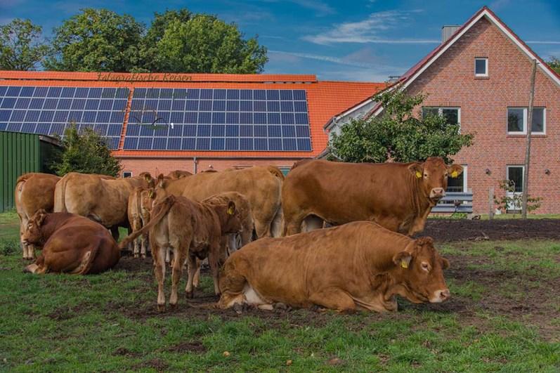 Felder und Häuser und Kühe in Dwergte