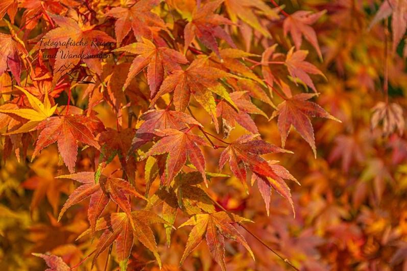 Blätter des Fächerahorn