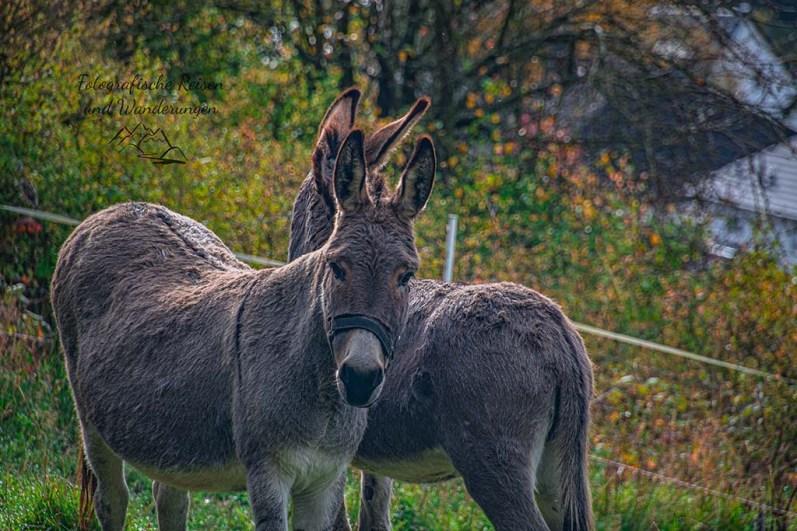 Haustener Esel