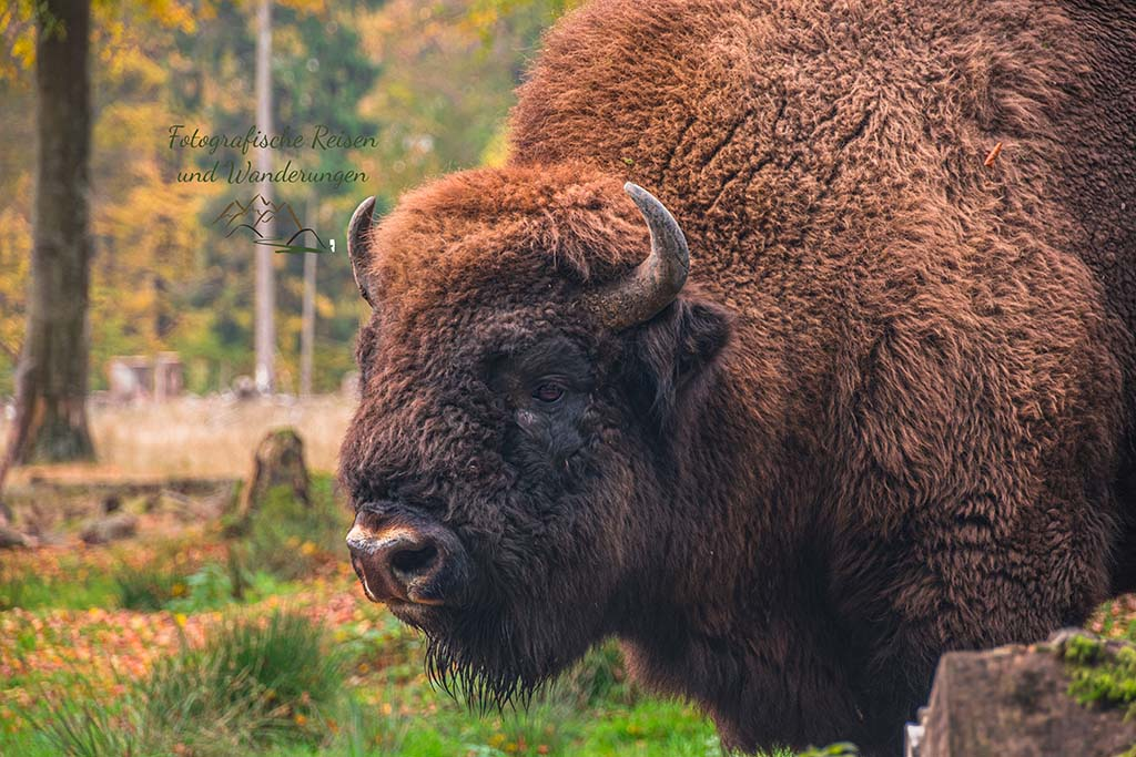 Dickes Wisent