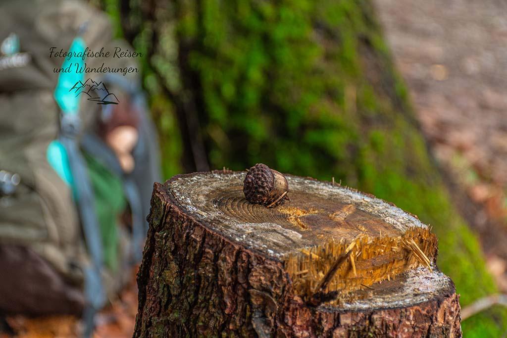 Eichel auf Baumstamm