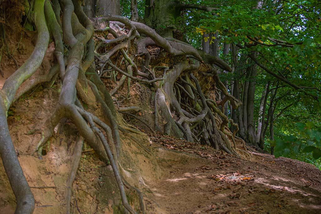 Wurzelwerk und Höhle unter dem Baum
