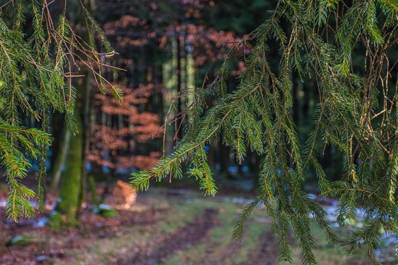 Eifelwinter - Tannengrün