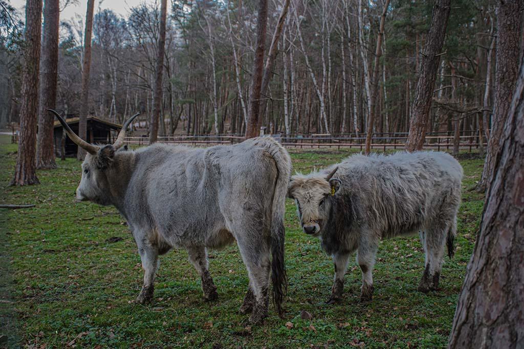 Ungarisches Hochlandrind im Wildpark