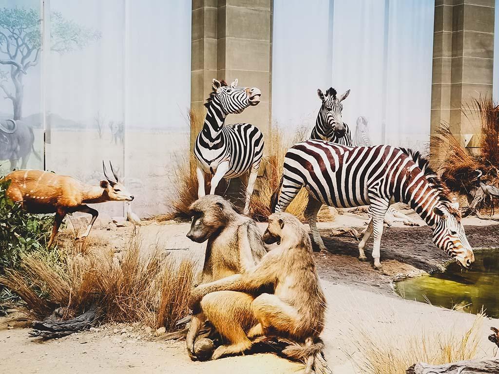 Afrikanische Savanne - Das Zoologische Forschungsmuseum Alexander Koenig