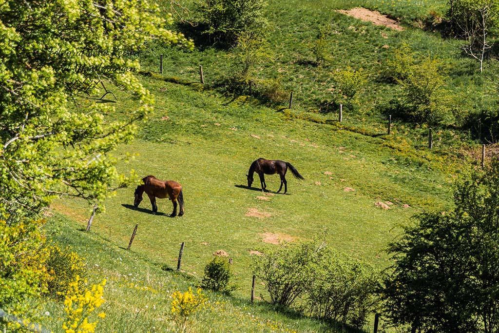 Pferde auf Weide bei Hollerath