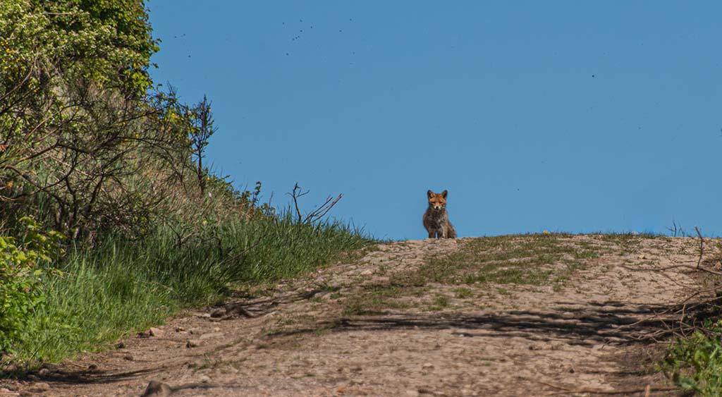 Fuchs auf Wanderweg