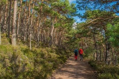 Wege durch Kiefernwälder