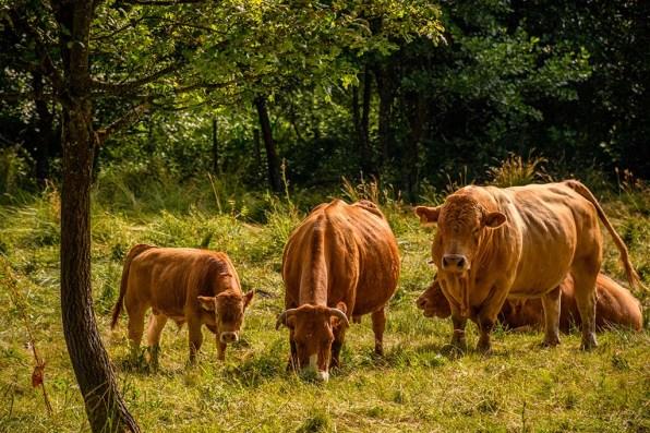 Bulle zwischen Kälbern und Kühen
