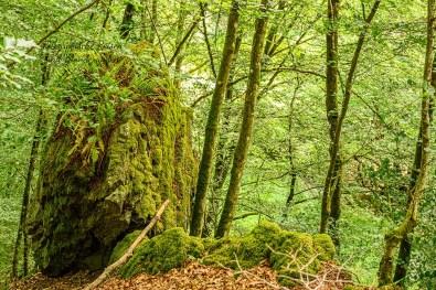Hoher Fels ragt in Wald auf-Rockenburger Urwaldpfad
