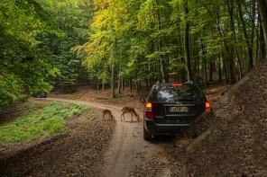 Rehe auf dem Waldweg