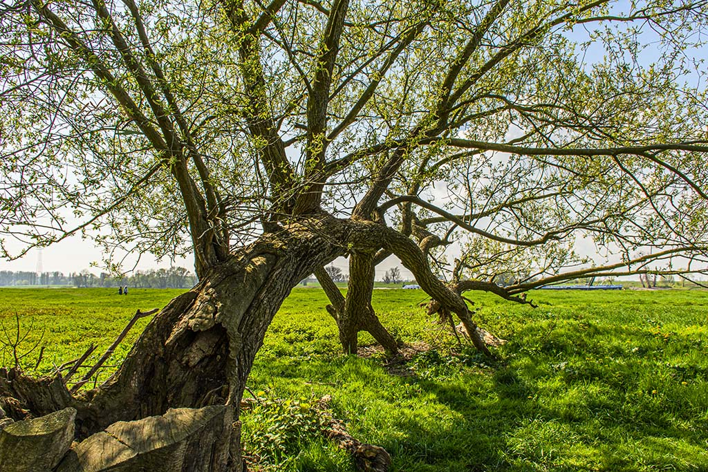 Gebeugter Baum