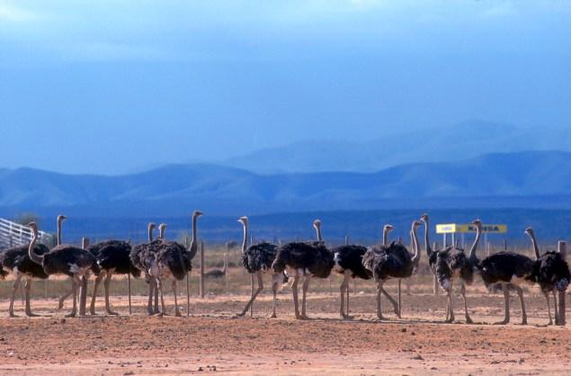 Sudáfrica, Karoo, Oudtshoorn, granja de Avestruz Highgate, huevos de Avestruz, animal