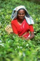 Sri Lanka, N'elya, Cosecha del Té, retrato