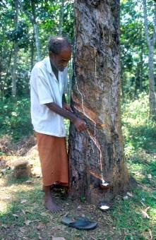 Sri Lanka, Kalutara, extracción del Caucho, retrato