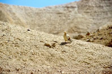 Israel, desierto del Negev, Ave Rapaz