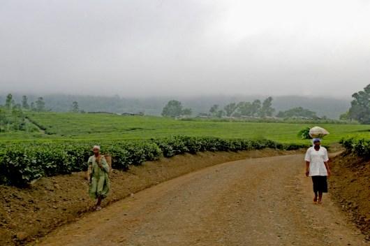 Camerún, Buea, plantación de Té